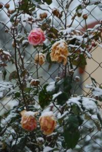 nieve-en-las-rosas
